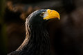 Steller s sea eagle haliaeetus pelagicus the is a large bird of prey in the family accipitridae it is an that lives in Royalty Free Stock Photo