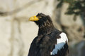 Steller's sea eagle looks backward. Royalty Free Stock Image