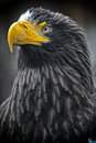 Steller s sea eagle a portrait Stock Photography