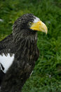 Steller's Sea Eagle's portrait Royalty Free Stock Photography