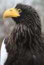Steller Sea Eagle Stock Images