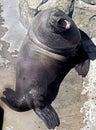 Steller Sea Lion 1