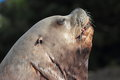 Steller sea lion the detail of male Royalty Free Stock Photography