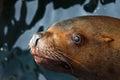 Steller sea lion eumetopias jubatus floats in water avacha bay kamchatka peninsula russia Royalty Free Stock Photography