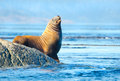 Steller sea lion resting on rock Royalty Free Stock Image