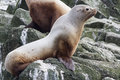 Steller sea lion sitting on a rock island in the pacific ocean Royalty Free Stock Images