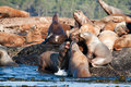 Steller Sea Lions Stock Images