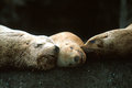 Steller sea lions sleeping together eumetopias jubatus alaska three cute faces touch one another Royalty Free Stock Photo