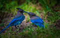 Stellers Jay Bird Feeding Royalty Free Stock Photo