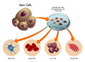 Stem cells medical illustration of the function of in the human body Royalty Free Stock Photos