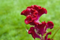 Stem of fuzzy wavy celosia beautiful red bloom with green background Stock Photography