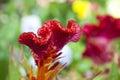 Stem of fuzzy wavy celosia beautiful red bloom with orange Royalty Free Stock Photos