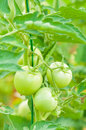 Stem with green unripe tomatoes as eco farming concept Royalty Free Stock Photo