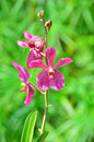 A stem of purple colored orchids in green outdoor park Royalty Free Stock Photos