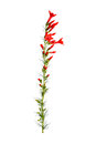 Stem of red Ipomopsis aggregata Hummingbird mix flowers Royalty Free Stock Photo