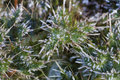 Stemless thistle frost coating super macro Royalty Free Stock Photo