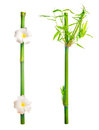 Stems of bamboo with leaves and frangipani flower is isolated on Royalty Free Stock Photo