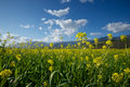 Stems of mustard in field rise above a the flower which is turned into the popular condiment Royalty Free Stock Image