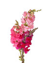 Stems of pink, red and purple shapdragon flowers Royalty Free Stock Photo