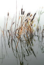 Stems of reeds reflected in water