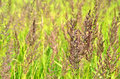 Stems of sedge Stock Images