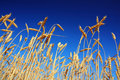 Stems of the wheat under sky Royalty Free Stock Images