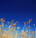 Stems of the wheat under sky Stock Image