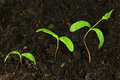 Step of growing green plant in soil Stock Image