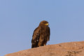 Steppe Eagle Royalty Free Stock Image