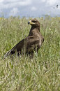 Steppe Eagle Stock Images