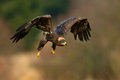 Steppe eagle aquila nipalensis bird moving action scene flying dark brawn bird of prey with large wingspan norway europe Stock Photo