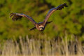 Steppe eagle aquila nipalensis bird moving action scene flying dark brawn bird of prey with large wingspan sweden europe Royalty Free Stock Images