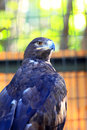 Steppe eagle aquila nipalensis close up Stock Photography