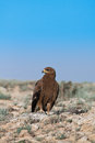 Steppe eagle aquila nipalensis in desert area near the caspian sea kazakhstan Royalty Free Stock Photo