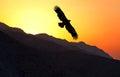 Steppe Eagle Aquila nipalensis flying along mountain ridge