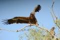 Steppe eagle BIKANER Royalty Free Stock Photo
