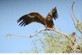 Steppe eagle BIKANER INDIA Royalty Free Stock Photo