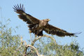 The Steppe Eagle is a bird of prey Taking off Royalty Free Stock Photo