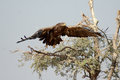 The Steppe Eagle is a bird of prey Taking off bikaner Royalty Free Stock Photo