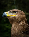 Steppe eagle close up head shot of Royalty Free Stock Photo