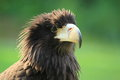 Steppe eagle the detail of of young Stock Photography