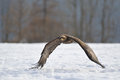 Steppe eagle flying above wither snowy ground Royalty Free Stock Photos
