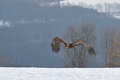 Steppe eagle flying above wither snowy ground Stock Photos