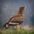 Steppe eagle in the nature Royalty Free Stock Image