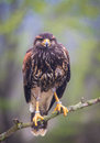 Steppe eagle in the nature Stock Photo