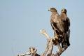 The Steppe Eagle Pair BIKANER Royalty Free Stock Photo