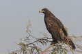 Steppe eagle a perched aquila nipalensis wintering in north west india Royalty Free Stock Images