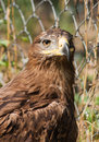 Steppe eagle proud. Royalty Free Stock Photo