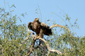 Steppe eagle READY TO FLY JORBEER OUTSKIRT BIKANER Royalty Free Stock Photo