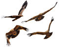 Steppe eagle set showing wing spread Royalty Free Stock Photos